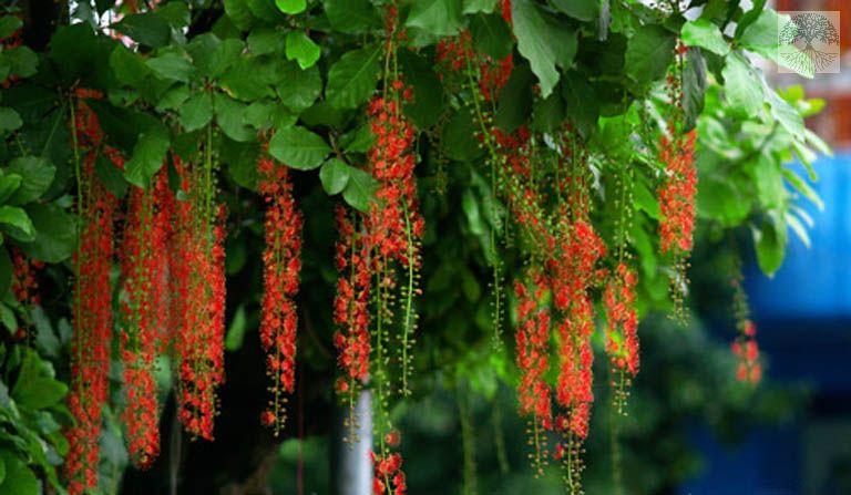 Cây lộc vừng hoa đỏ