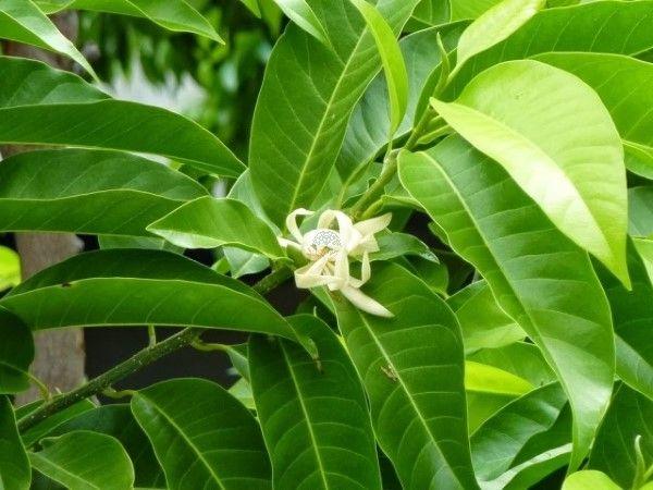 Hình dáng cây hoa ngọc lan