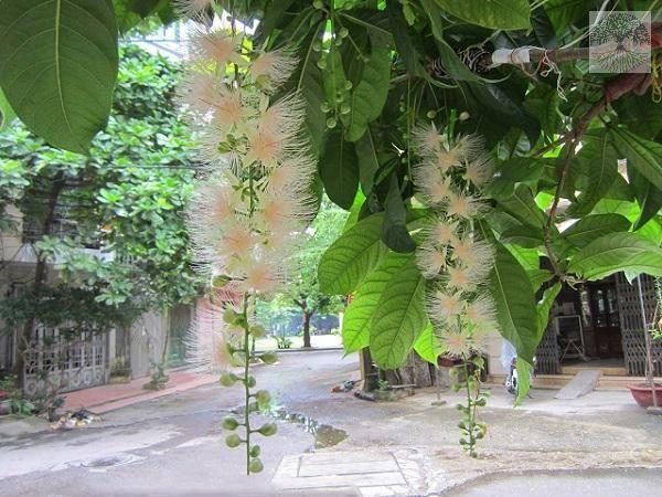 Cây lộc vừng hoa trắng